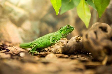 Green iguana in nature