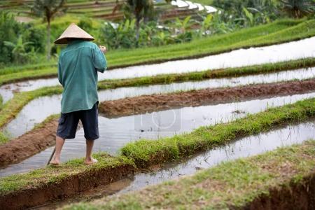 Photo pour Vue arrière du travailleur sur rizière, plantation de riz - image libre de droit