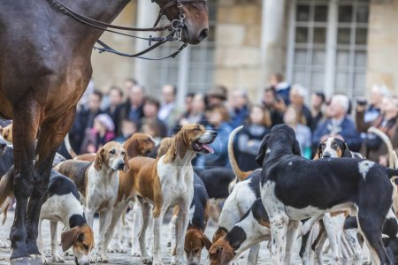 Environmental portrait of a hound during a traditional French hounds show.