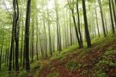 Early autumn beech forest