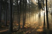 Coniferous forest on an autumn morning