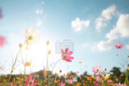 Photo pour Filtre couleur vintage cosmos fleur champ . - image libre de droit
