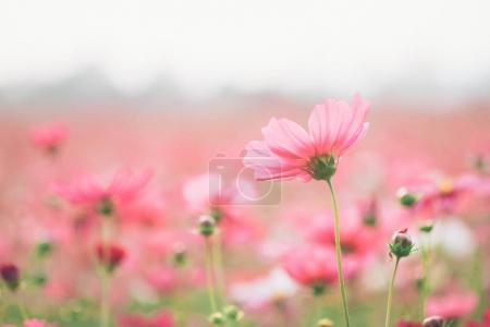 Photo for Soft focus of cosmos flowers on sunlight and clear blue sky. - Royalty Free Image