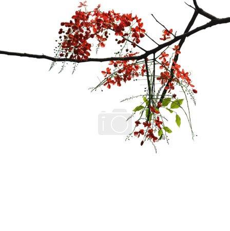 Photo pour Branche d'arbre remplie de fleurs rouges isolées sur fond blanc - image libre de droit