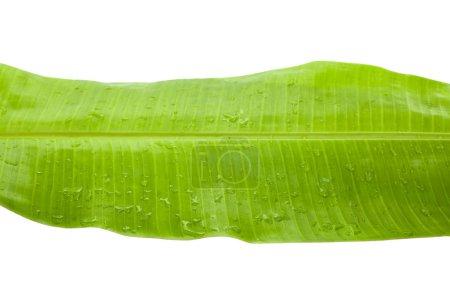 Photo pour Feuille de banane tropicale fraîche et verte avec gouttes de pluie isolées sur blanc - image libre de droit