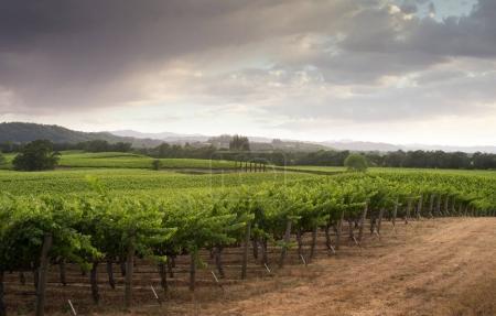 Panoramic view of grape plantation of Napa valley ...