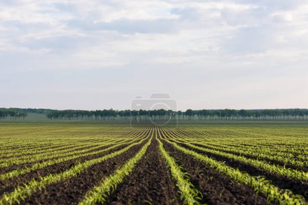 Photo for Field with rows of young corn. Agricultural land near the village. Spring landscape - Royalty Free Image