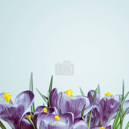 Photo for A bouquet of purple crocuses on a white background. The first spring flowers. Color Tinting - Royalty Free Image
