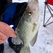 Crappie caught ice fishing is barely hooked...