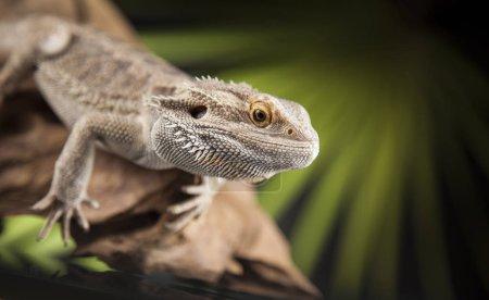 Root Bearded Dragon