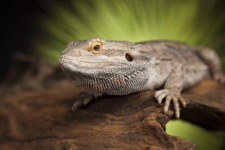 Agama bearded lizard