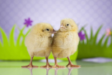 Easter young chicks