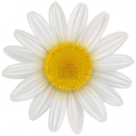 Illustration for Daisy flower isolated, vector illustration. - Royalty Free Image