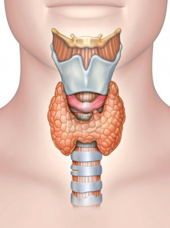 Photo for Anatomy of the thyroid gland. Digital illustration. - Royalty Free Image