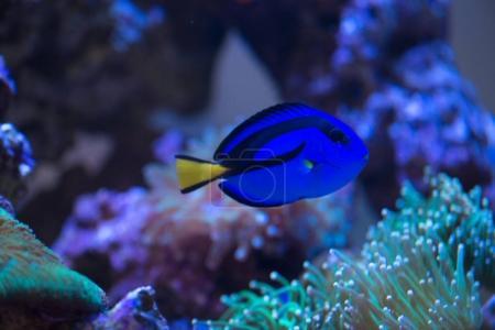 blue paracanthurus hepatus