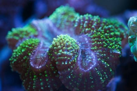 Photo pour Gros plan de coraux marins colorés, prise de vue sous-marine - image libre de droit