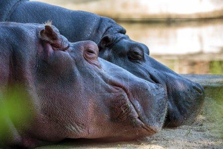 Hippos sleeping on the ground