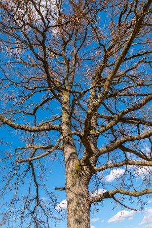 Big oak with barren branches