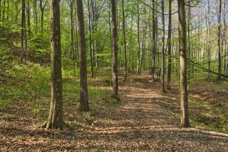 Photo pour Forêt de hêtres au début du printemps - image libre de droit