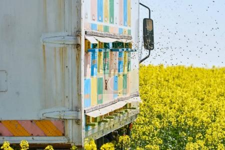 Truck with beehives in rape field