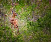 Roe deer in forest