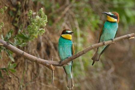 Bee eater on branch