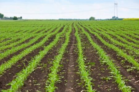 Young corn plants on field