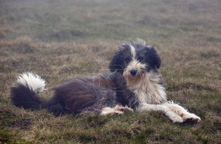 Shepherd dog lying in grass
