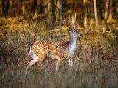 deer near forest at sunset