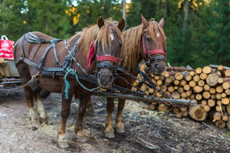Horses tied to cart