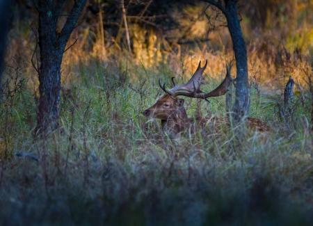Fallow deer buck  in grass
