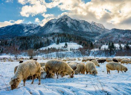 A flock of sheep grazing through the snow at the bottom of the mountain