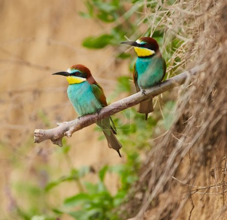 View of Bee eaters pair sitting on branch.