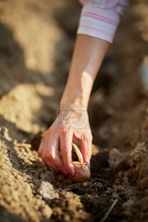 Female hand planting potato seed tubers in garden