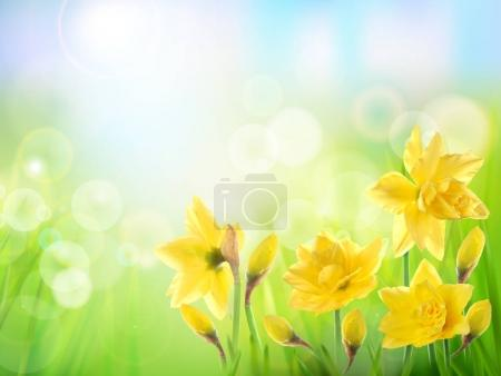 Spring nature background with yellow flower. Daffodils.