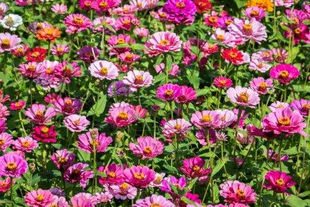 Photo pour Rose et violet cosmos fleurs ferme en plein air - image libre de droit