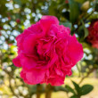 Pink camellia flowers in the garden at outdoor...
