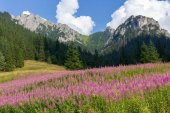 Meadow with pink lupin flowers in valley in Tatra Mountains in Poland