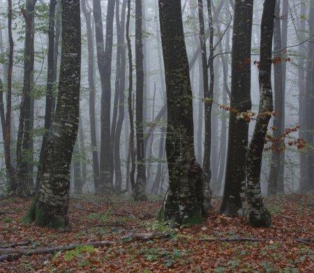 Photo pour Forêt brumeuse, matin en bois - image libre de droit