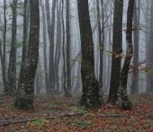 Foggy forest, morning in woods