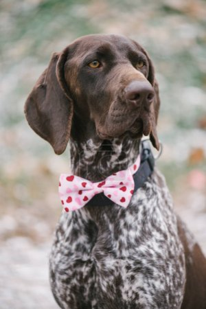 Cute German pointer dog with pink bow tie posing outdoor