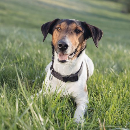 Cute dog portrait, young terrier dog posing outdoor