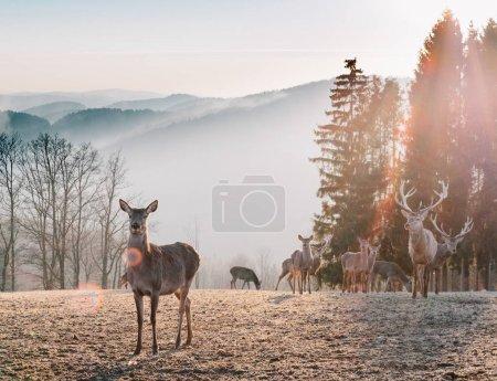 Photo pour Red Deer au soleil du matin. Superbe image de troupeau de cerfs rouges dans le brouillard Automne image de paysage forestier coloré - image libre de droit