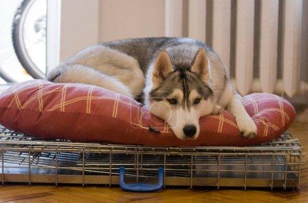Photo pour Chien husky sibérien se reposant avant exposition canine. Husky couché sur un tapis confortable à la maison - image libre de droit