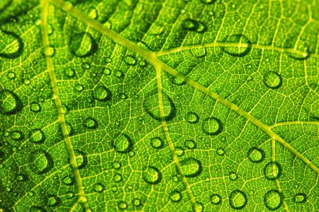 Photo for Green leaf texture with water drops for background - Royalty Free Image
