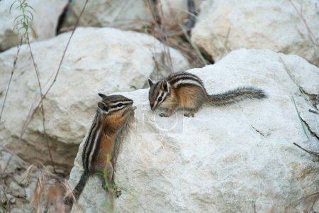Пару бурундуки играть вязки
