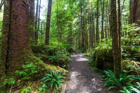Photo pour Forêt pluviale dans l'île de Vancouver, Colombie-Britannique, Canada - image libre de droit