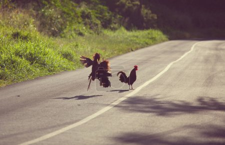 Cock fight on the road