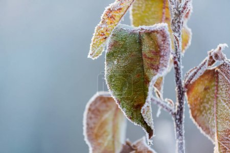 frosty leaves in winter forest.