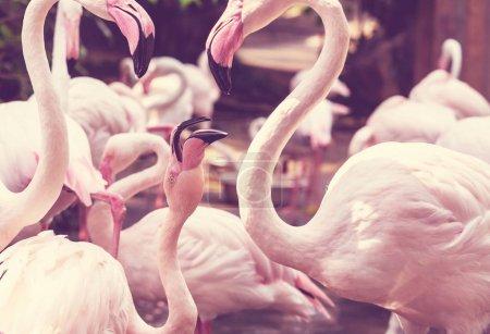 Pink flamingo birds